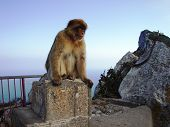 picture of emplacements  - a wild rock ape sitting on a demolished gun emplacement on the rock of gibraltar - JPG