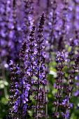 stock photo of herbacious  - salvia is a genus in the mint family lamiaceae - JPG