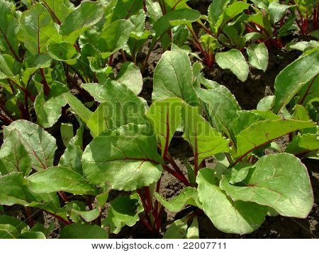 Young Beetroot Plants