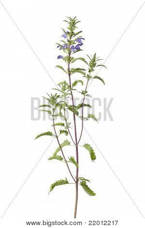 Flowering Moldavian Balm