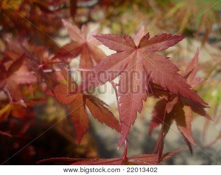 Acer Tree leaf