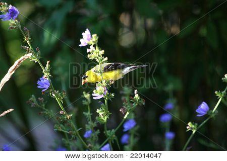 American Gold Finch male