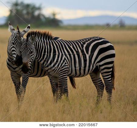 Zebras nuzzling