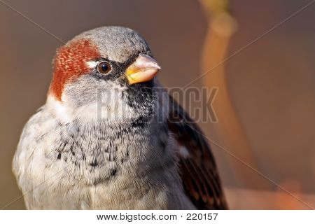 Sparrow Close-up