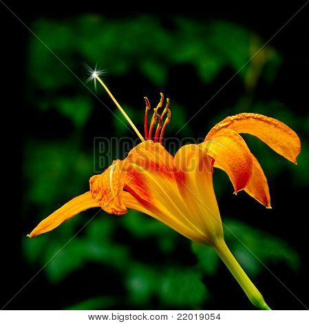 orange tiger lily with a sparkle on the stamen which looks like a magic wand