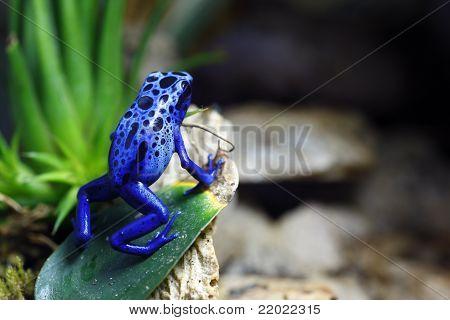 Azul Dendrobatidae Frog
