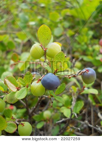 Young Alaskan Blueberries