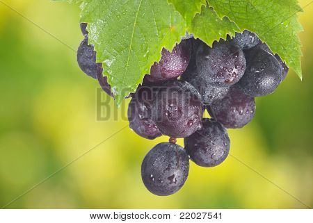 Fresh Grapes And Green Leaf