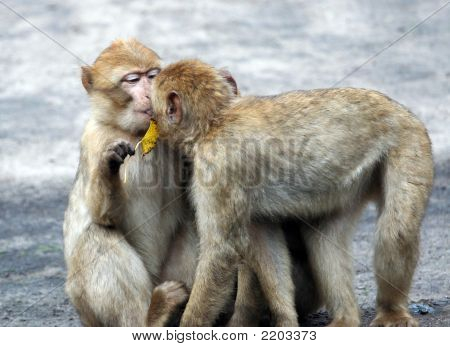 Two Baby Baboons Kissing