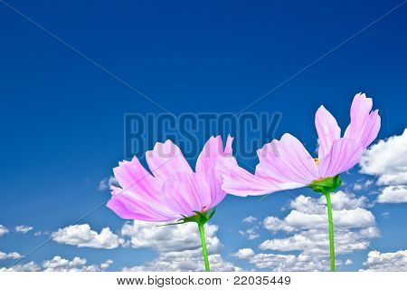 Pink Cosmo Daisies And Bright Blue Sky With Beautiful Clouds