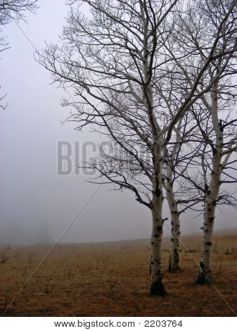 Foggy Aspen Trees