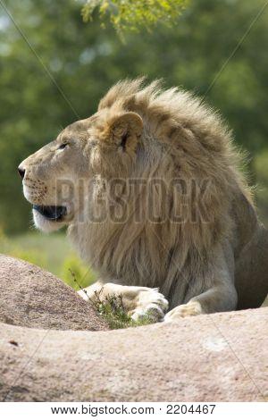 Furry Lion