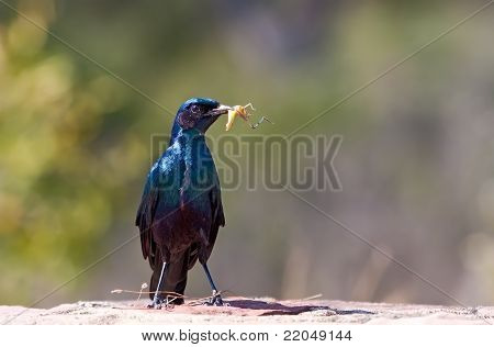 Starling Sitting With Food On Rock