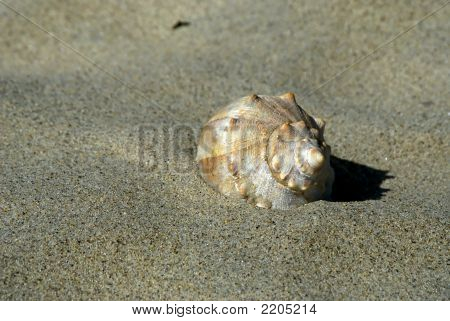 Large Sea Shell At Teh Beach