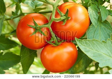 Bunch With Three Red Tomatoes