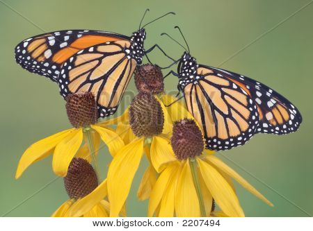 Monarchs On Coneflowers