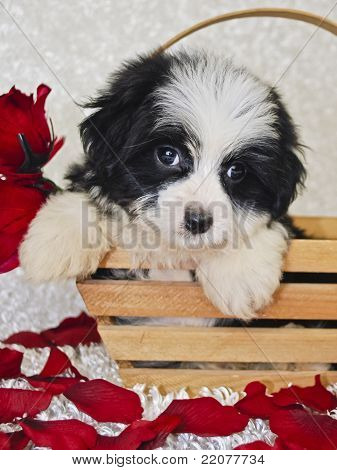 Black And White Havanese Puppy