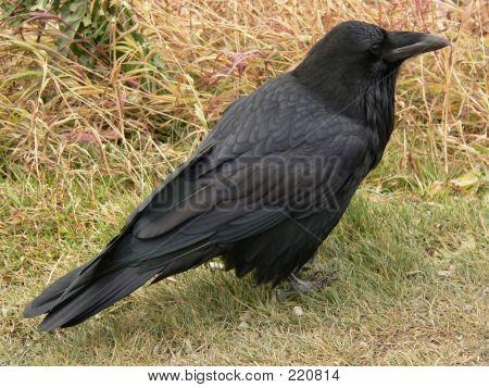 Raven Profile