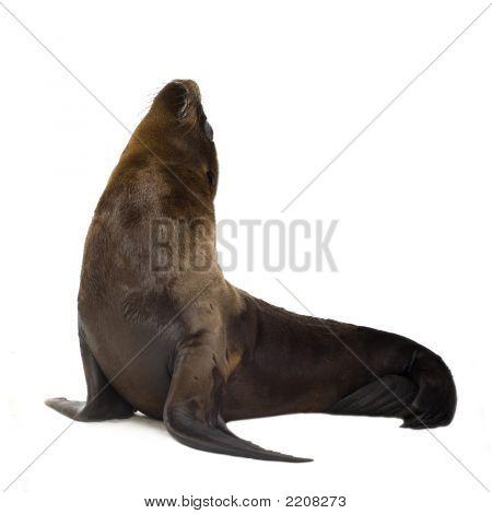 Sea-Lion Pup (3 Months)