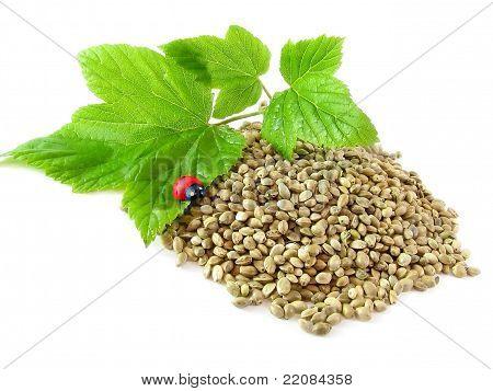 Sementes de cânhamo, galho e joaninha isolado