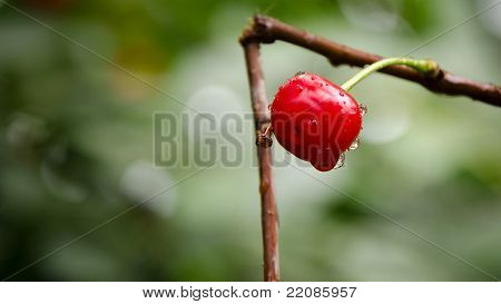 Single cherry with raindrops on it. Macro shot. Shallow dof.