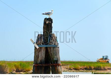 Seagull  In Venetian Lagoon