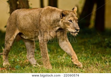 Asiatic Lioness On The Prowl