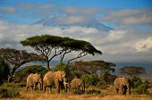 stock photo of kilimanjaro  - Family of African elephants walking in front of snow-covered Mt. Kilimanjaro