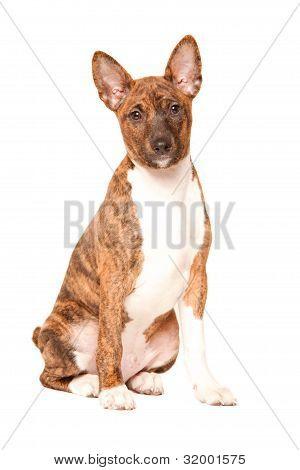 Basenji Puppy Isolated On White Background