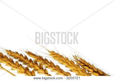 Wheat Plant Background