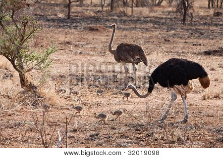 Ostrich Birds With Youngsters