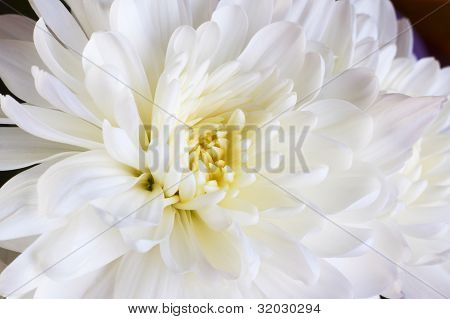 Bud Of White Chrysanthemum