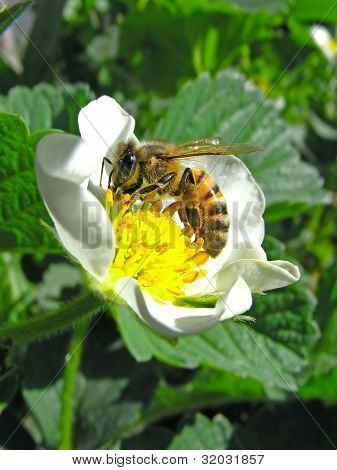 bee on flower of the strawberries