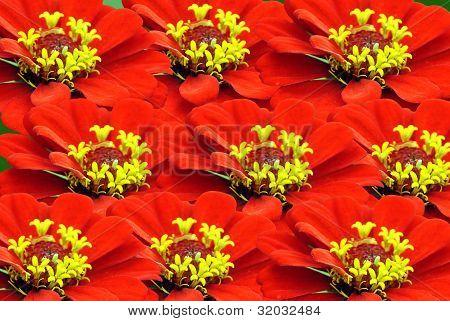 Zinnia flowers (Zinnia sp)