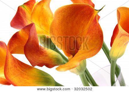 Bouquet of calla lilies