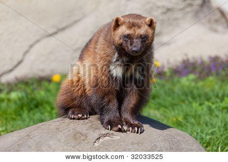 Wolverine On Rock