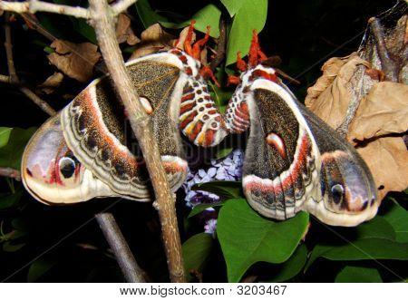 Mating Ceropia Moths