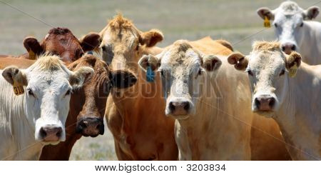 Curious Country Cows