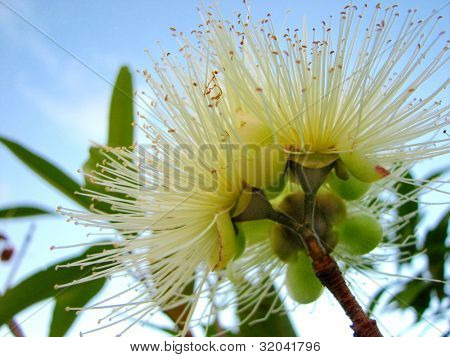 Eucalyptus bloom