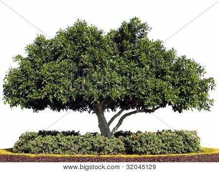 Isolated Moreton Bay Fig Tree