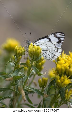 Checkered White Butterfly Feeding On Yellow Flowers