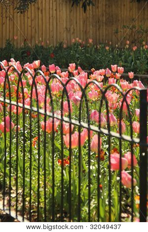 Rows of pink tulip flowers in bloom behind green metal fence