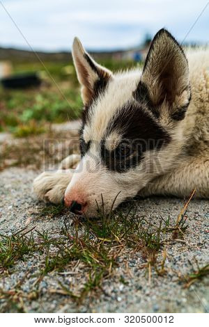 poster of Greenland dog - a husky sled dog puppy in Ilulissat Greenland. Juvenile dog sled dog cute and adorab