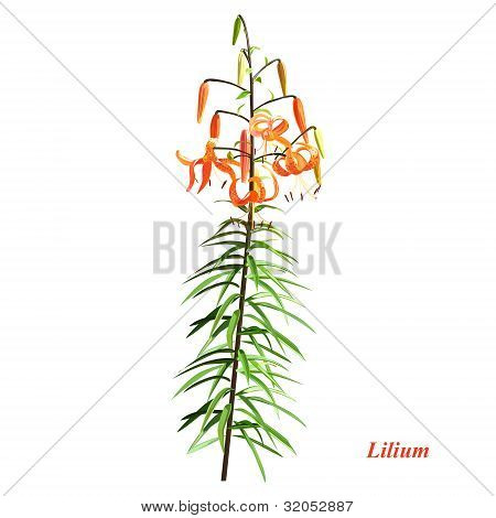 The Unique Lilium