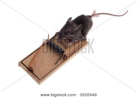 Mouse In Trap