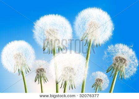 Dandelions On Blue Sky Background