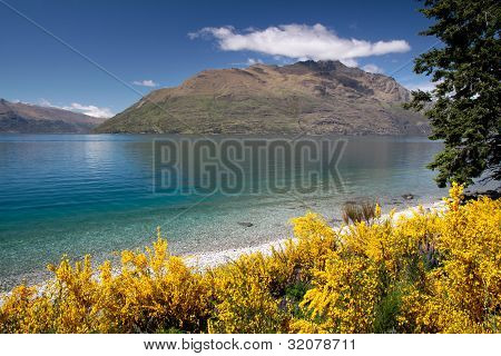 Broom Bushes On The Banks Of Lake Wakatipu