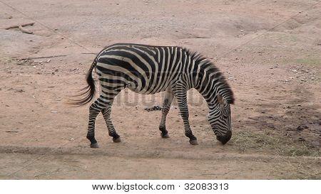 A zebra no jardim zoológico
