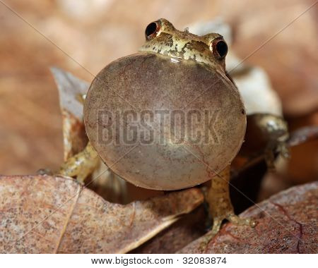 Male Spring Peeper Calling