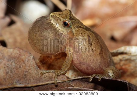 Male Spring Peeper Calling